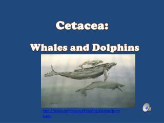 Cetacea :
