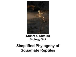 Stuart S. Sumida Biology 342 Simplified  Phylogeny of  Squamate  Reptiles