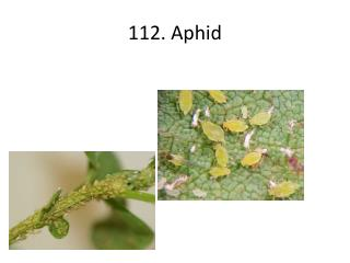112. Aphid