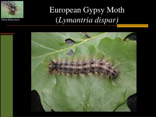 European Gypsy Moth ( Lymantria dispar)
