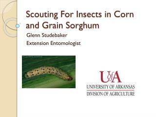 Scouting For Insects in Corn and Grain Sorghum