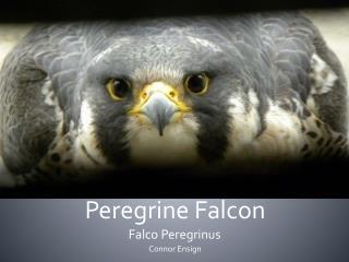 Peregrine Falcon