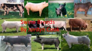 Swine Breeds  By  Jordyn  Cook