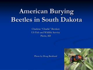 American Burying Beetles in South Dakota