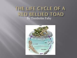 The Life Cycle of a  Red Bellied Toad