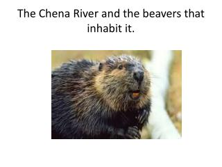 The Chena River and the beavers that inhabit it.