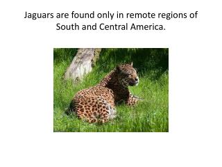 Jaguars are found only in remote regions of South and Central America.