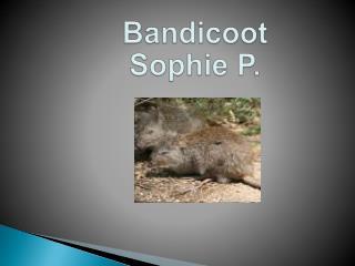 Bandicoot Sophie  P.