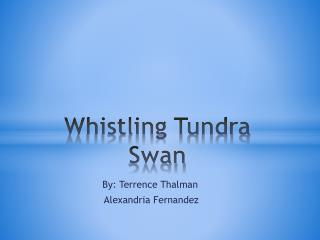 Whistling  T undra Swan