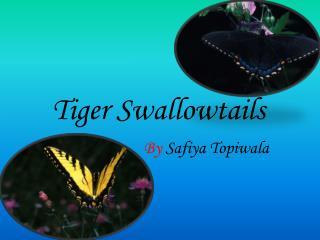 Tiger Swallowtails