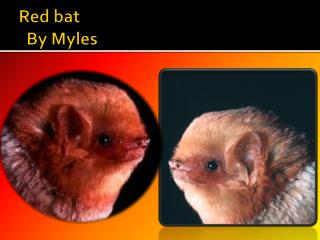 Red  bat By  Myles