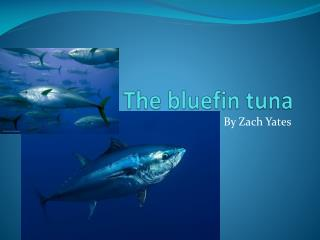 The bluefin tuna