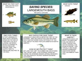 SAVING SPECIES: LARGEMOUTH BASS Micropterus salmoides