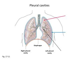 Pleural cavities