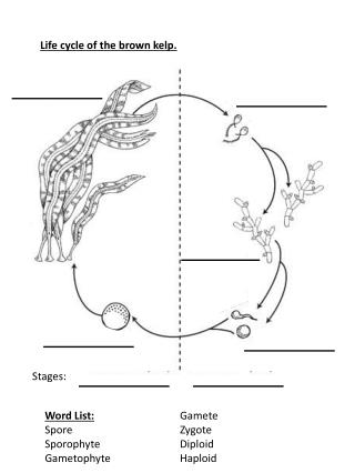 Life cycle of the brown kelp.