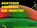 ANATOMIE G N RALE DES INSECTES