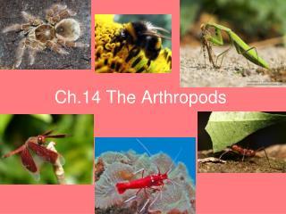 Ch.14 The Arthropods
