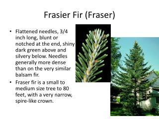 Frasier Fir (Fraser)