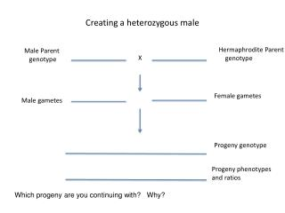 Creating a heterozygous male