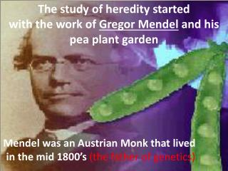 The study of heredity started  with the work of  Gregor Mendel  and his  pea plant garden