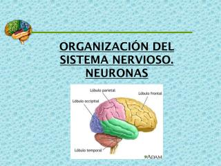 ORGANIZACIÓN DEL SISTEMA NERVIOSO. NEURONAS