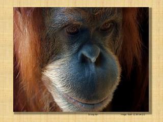 Orangutan Image:  Kiani   CC BY-SA-2.0