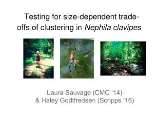 Testing for size-dependent trade-offs of clustering in  Nephila clavipes