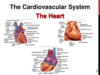 The Cardiovascular System The Heart