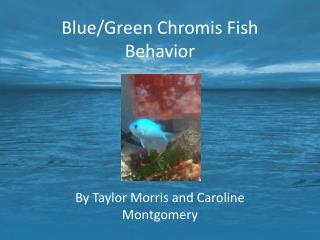 Blue/Green Chromis Fish Behavior