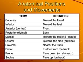 Anatomical Positions  and Movements