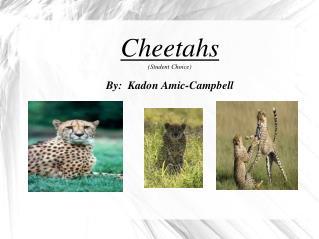 Cheetahs (Student Choice) By:  Kadon Amic-Campbell