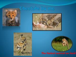 Cheetahs by me
