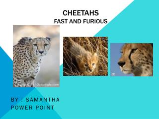 CHEETAHS Fast and Furious