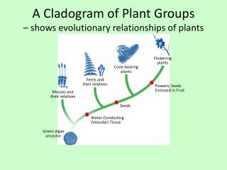 A  Cladogram  of Plant Groups  � shows evolutionary relationships of plants