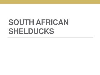 South African Shelducks