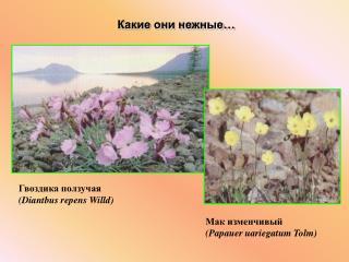 Гвоздика ползучая (Diantbus repens Willd)