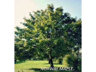 NORWAY MAPLE.