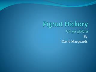 Pignut Hickory Carya g labra