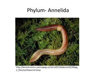 Phylum-  Annelida
