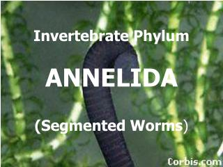 Invertebrate Phylum ANNELIDA (Segmented Worms )