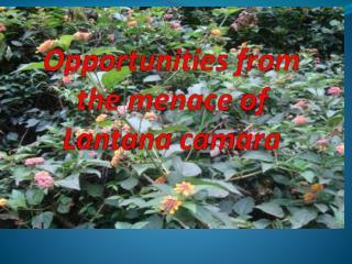 Opportunities from the menace of Lantana  camara