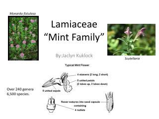 "Lamiaceae "" Mint Family"""