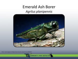 Emerald Ash Borer Agrilus planipennis