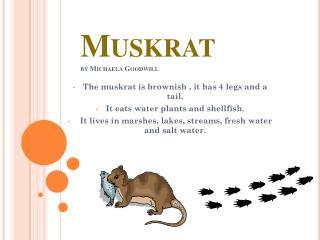 Muskrat by Michaela Goodwill