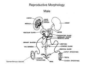 Reproductive Morphology