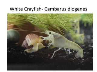 White Crayfish-  Cambarus diogenes