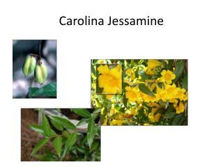 Carolina Jessamine