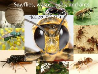 Sawflies, wasps, bees, and ants