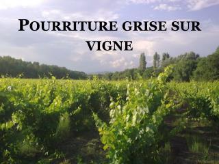 Pourriture grise sur vigne