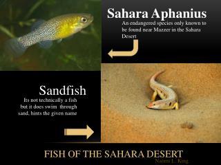 Sahara Aphanius